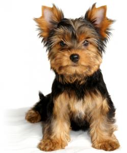 Yorkshire Terriers Akc Ocala Florida