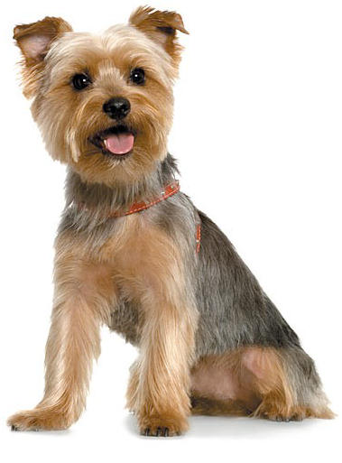 Short Haircut Yorkie Yorkshire Terrier